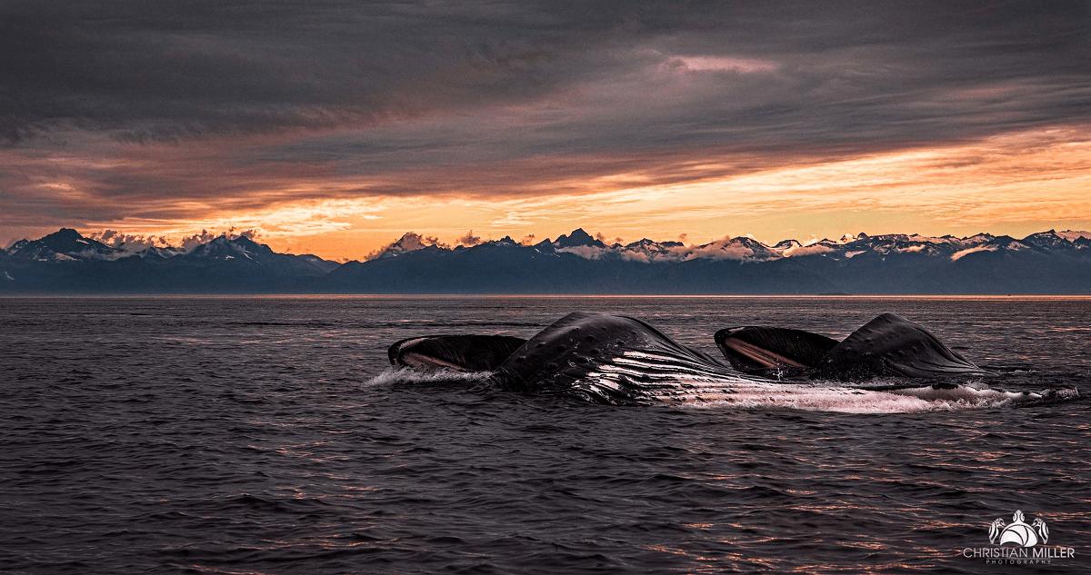 Snotbot Alaska - Whales at center of ocean health