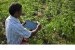 Risab Biswas identifies pathological diseases in tea tree plants